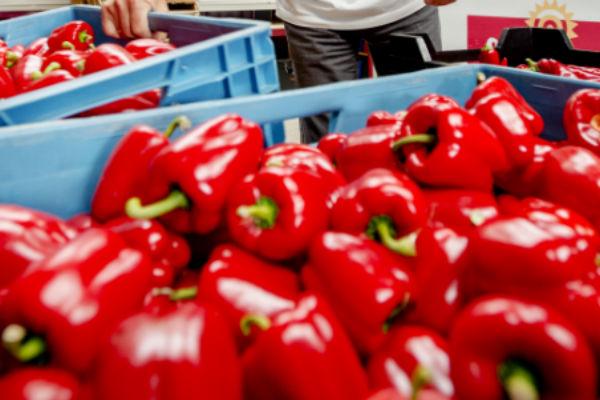 Paprikateler dumpt miljoen paprika's