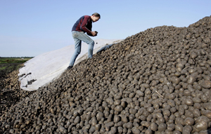 AH stelt geen extra eisen aan bio-aardappelen