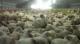 '81 miljoen dieren vroegtijdig afgemaakt'