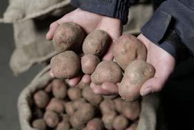 Genen aardappel in kaart gebracht