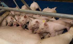 Varkensboeren: gebruik lesstof Wakker Dier niet