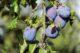 Blue violet branch bunch 209378 80x53