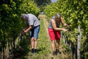 Nederland heeft 157 hectare wijnbouw