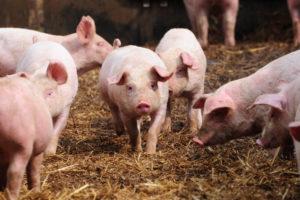 Bionext wil varkens slachten op boerenerf